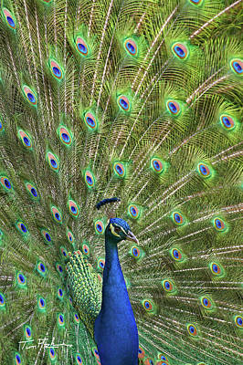 Photograph - Peacock Display by Tim Fitzharris
