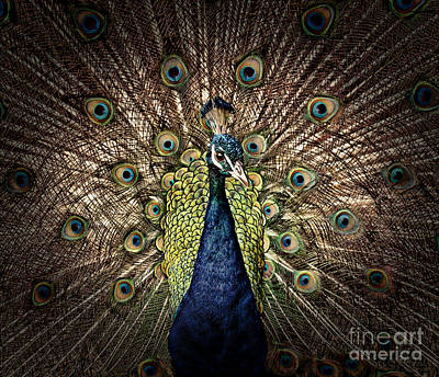 Photograph - Peacock Displaying His Plumage II by Jim Fitzpatrick