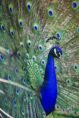 Photograph - Peacock by Jill Lang
