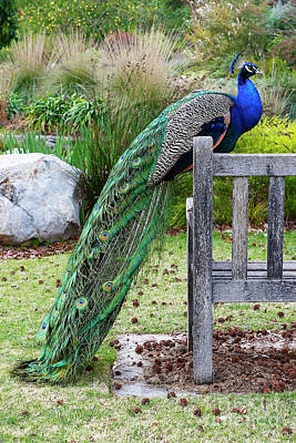 Photograph - Peacock by Nicholas Burningham