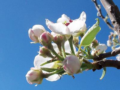Photograph - Pear Blossom by Nancy Pauling