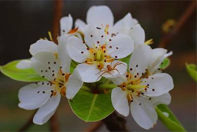 Photograph - Pear Blossoms by Kathryn Meyer