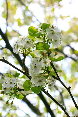 Photograph - Pear Tree Blossoms by Angela Rath