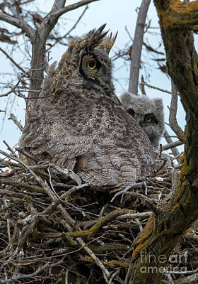 Great Horned Owl Wall Art - Photograph - Peeking Out by Mike Dawson