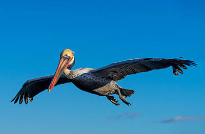 Photograph - Pelican by Derek Dean