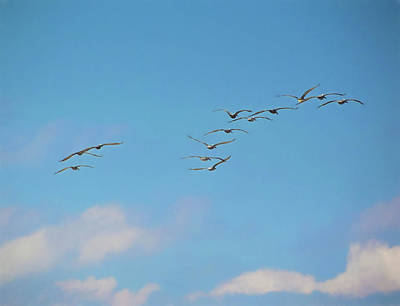 Photograph - Pelican Flight by JAMART Photography