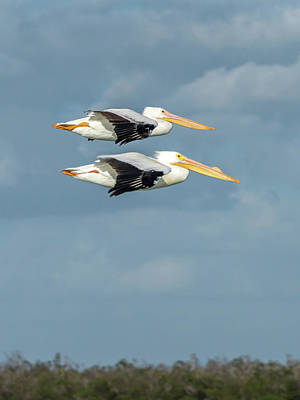 Photograph - Pelican Flying Duo by Framing Places