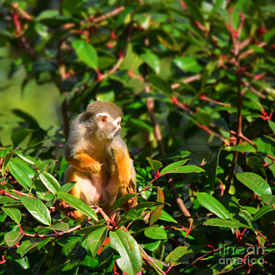 Photograph - perched Squirrel Monkey by Paul Davenport
