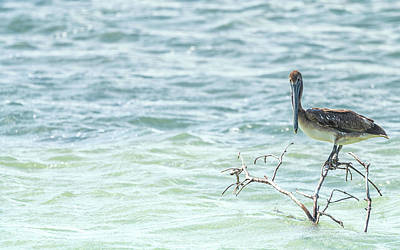 Photograph - Perching Pelican by Framing Places