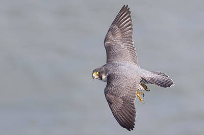 White Cliffs Of Dover Photograph - Peregrine Falcon by Ian Hufton