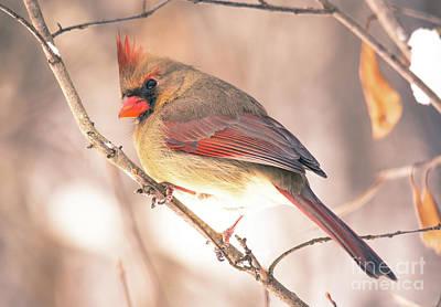 Photograph - Perfect Cardinal by Cheryl Baxter