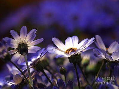 Pericallis On A Cool Spring Evening 3 Art Print by Dorothy Lee