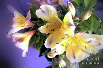Photograph - Peruvian Lily 3 by Victor K