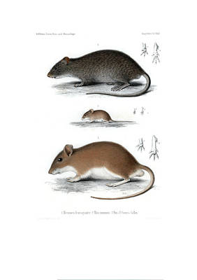 Drawing - Peter's Gerbil, Little Harvest Mouse, And Swamp Rat by J D L Franz Wagner