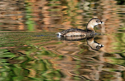 Photograph - Pied-billed Grebe by Donna Kennedy