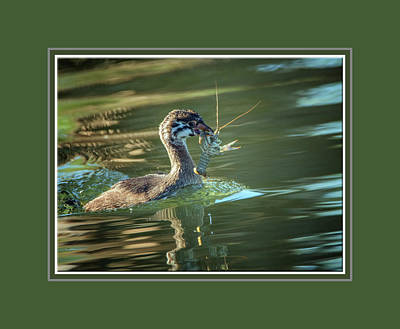 Photograph - Pied-billed Grebe With Crawdad 2439 by Tam Ryan