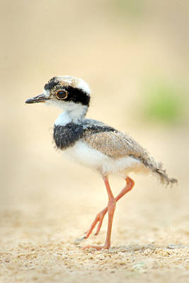 Plover Photograph - Pied Plover Vanellus Cayanus Chick by Panoramic Images