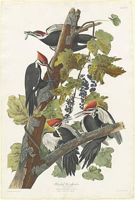 Audubon Drawing - Pileated Woodpecker by Dreyer Wildlife Print Collections