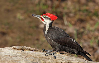 Pileated Photograph - Pileated Woodpecker by Mircea Costina Photography