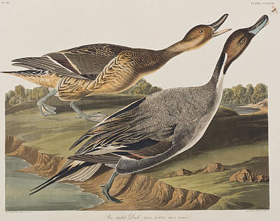 Duck Drawing - Pin-tailed Duck by John James Audubon