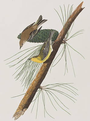 Pine Trees Drawing - Pine Creeping Warbler by John James Audubon