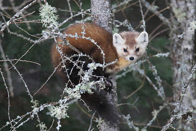 Photograph - Pine Marten Hanging In Tree 3 by Brook Burling