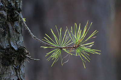 Photograph - Pine Needles Ridge New York by Bob Savage