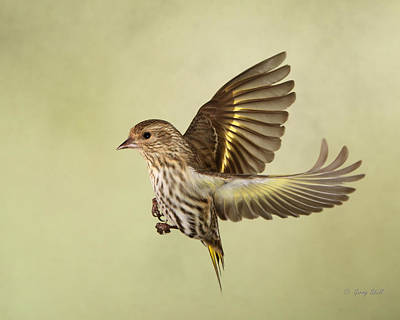 Photograph - Pine Siskin In Flight by Gerry Sibell