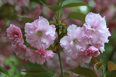 Photograph - Pink Blossoms Of Crabapple Tree  by Yvonne Wright