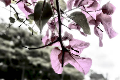 Photograph - Pink Bouganvillea by Kay Brewer