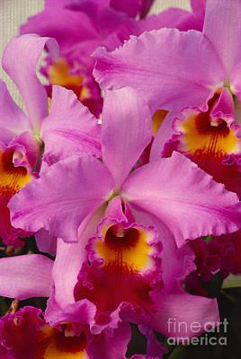 Pink Cattleya Orchids Art Print by Allan Seiden - Printscapes