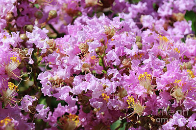 Photograph - Pink Crepe Myrtle Closeup by Carol Groenen