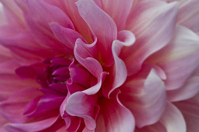 Photograph - Pink Dahlia by Ken Barrett
