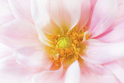 Photograph - Pink Dahlia by Verena Matthew