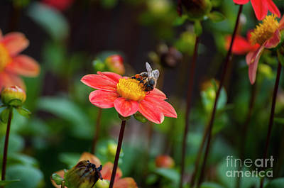 Pink Dahlia With Bee Art Print by Mandy Judson