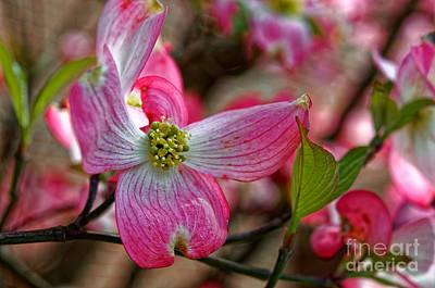 Photograph - Pink Dogwood by Paul Mashburn