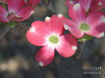Photograph - Pink Dogwood by Rod Ismay