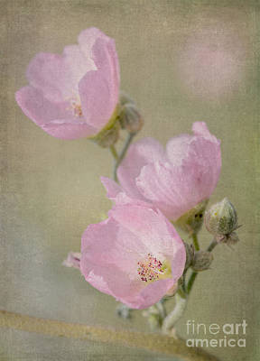 Photograph - Pink Globemallow  by Tamara Becker