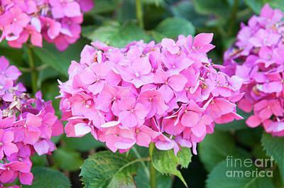 Pink Hortensia Flower  Art Print