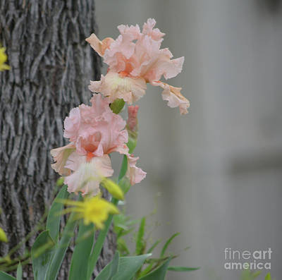 Photograph - Pink Irises  by Ruth Housley