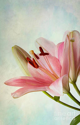 Lilies Royalty-Free and Rights-Managed Images - Pink Lilies by Nailia Schwarz