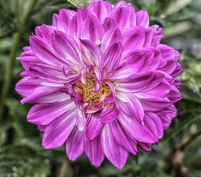 Royalty-Free and Rights-Managed Images - Pink Petals by Martin Newman