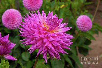 Photograph - Pink Promise Dahlia by Glenn Franco Simmons