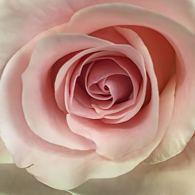 Roses Royalty-Free and Rights-Managed Images - Pink Rose by Andrew Soundarajan