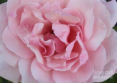Roses Photograph - Pink Rose Closeup by Carol Groenen