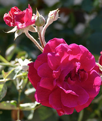 Photograph - Pink Roses by Laurel Powell