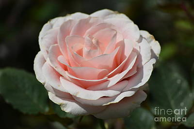 Photograph - Pink Tea Rose by Jeannie Rhode