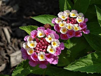 Photograph - Pink-white Lantana by Amanda Balough