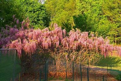 Photograph - Pink Wisteria by Kathryn Meyer
