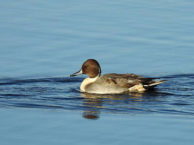 Petrie Island Photograph - Pintail Duck by Betty-Anne McDonald